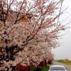 【2014桜開花予想(第2回)】花見ランは「穂の国・豊橋ハーフマラソン」か、「四日市シティマラソン」か。