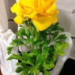 【第5回豊橋ハーフマラソン】お花の名前は「ラナンキュラス」「花金鳳花(ハナキンポウゲ)」!