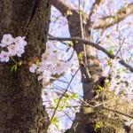 【今日の練習】4/10 110分朝イチjog ; サクラ散る。岡崎公園のライトアップ終了!