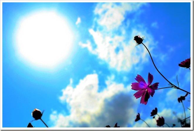 太陽とコスモス